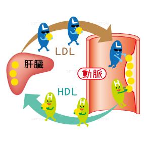肝臓とLDLとHDLの役割のイラスト