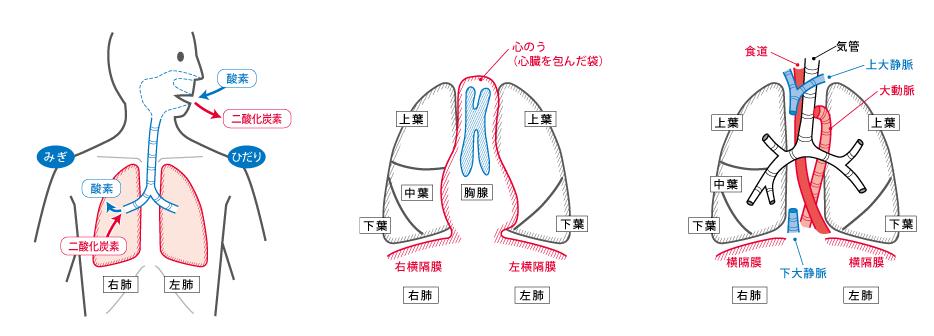 イラスト-肺-肺の構造